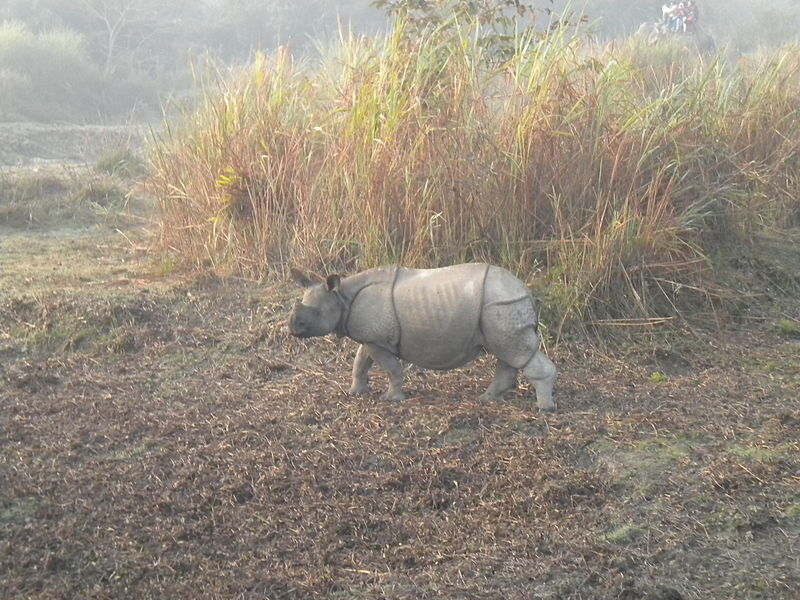 Great Indian One-horned Rhinoceros: Wikis