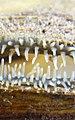 Siphon (mollusc) Unionidae Lamiot Lille 2352 zoom.jpg