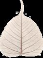 Skeletonized Leaf - Ficus religiosa - Kolkata 2015-05-16.png