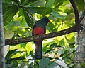 Slaty-tailed Trogon. Trogon massena - Flickr - gailhampshire (1).jpg