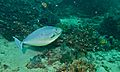 Sleek Unicornfish (Naso hexacanthus) (6088660063).jpg