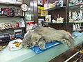 Sleeping Cat on Pet Shop Counter 20121110.jpg