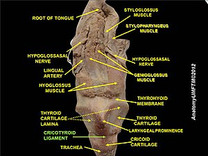 Cricothyroid ligament - Image: Slide 6lll