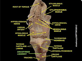 Cricothyroid ligament - Image: Slide 6lll