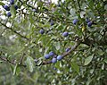 Sloes - geograph.org.uk - 228814.jpg