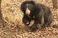 Sloth bear (7).jpg