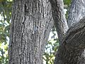 Small Indian Oak (2208823659).jpg
