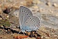 Small blue (Cupido minimus) underside Macedonia.jpg