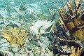 Smallmouth grunt Haemulon chrysargyreum and elkhorn coral Acropora palmata (2412819097).jpg