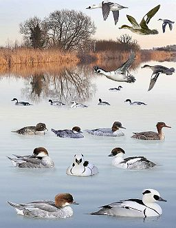 Smew from the Crossley ID Guide Britain and Ireland