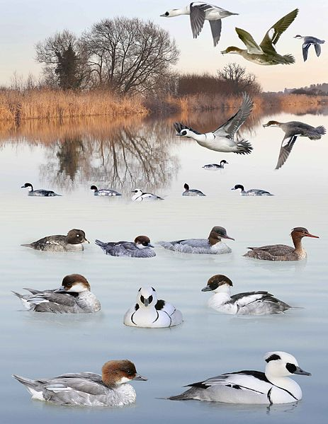 Tập tin:Smew from the Crossley ID Guide Britain and Ireland.jpg