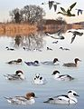 Smew from the Crossley ID Guide Britain and Ireland.jpg