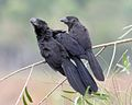 Smooth-billed Ani (Crotophaga ani) group.jpg