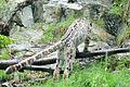 Snow Leopard Leaping (8832003550).jpg
