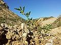 Solanum nitidibaccatum sl55.jpg