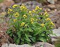 Solidago virgaurea subsp. leiocarpa (Mount Ontake).JPG