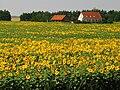 Sonnenblumenfeld 2007.jpg