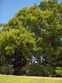 Sophora japonica11.JPEG