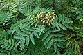 Sorbus matsumurana 04.jpg