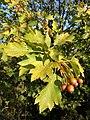 Sorbus torminalis sl18.jpg