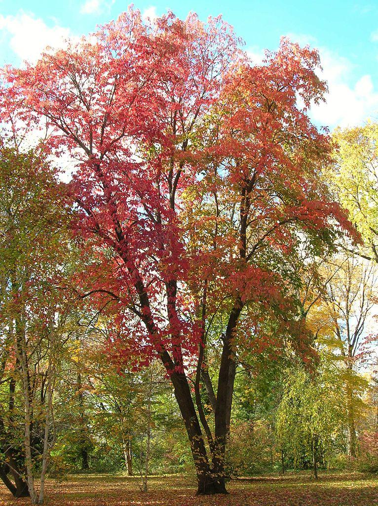 File:Sourwood Tree, Elizabeth Park, West Hartford, CT ...
