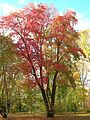 Sourwood Tree, Elizabeth Park, West Hartford, CT - October 31, 2010.jpg