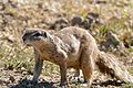 South African Ground Squirrel (Xerus inauris) (32193898730).jpg
