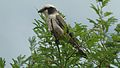 Southern White-crowned Shrike (Eurocephalus anguitimens) (6025973728).jpg