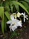Spathoglottis plicata (Philippine ground orchid) - white cultivar.jpg