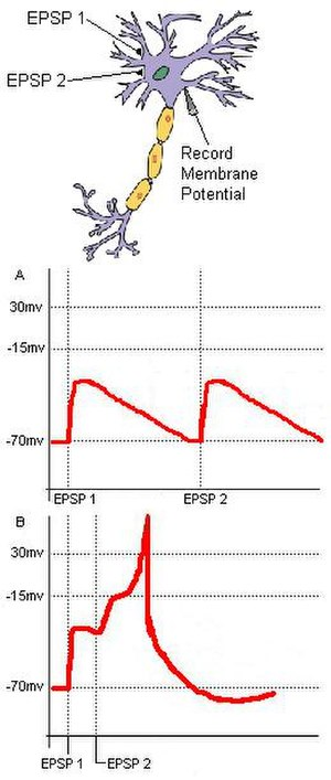 Coincidence detection in neurobiology - Fig. 1: Two EPSP's innervated in rapid succession sum to produce a larger EPSP or even an action potential in the postsynaptic cell.