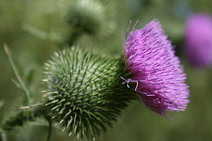 Dzyhivka - Image: Spear Thistle Cirsium vulgare, Fort Custer