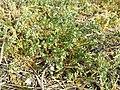 Spergularia rubra sl29.jpg