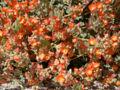 Sphaeralcea ambigua 5.jpg
