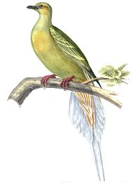 SphenocercusApicaudusBonaparte.jpg