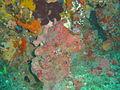 Sponges at Pao Reef dsc04242.jpg