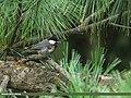 Spot-winged Tit (Periparus melanolophus) (15273521864).jpg