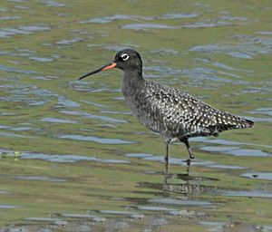 Spotted redshank - Spotted redshank - breeding plumage