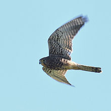 Spotted kestrel -bird -birding -bandungbirding -Ig Bird -birdextreme -nature perfection -wildlife (16656529537).jpg