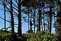 Spruce Burl trail, Kalaloch Beach, Washington 04.jpg