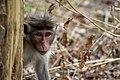 Sri Lankan Macaque (235883627).jpeg