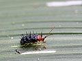 Stachelblattkäfer (Chrysomelidae Hispinae) (8266530499).jpg