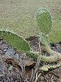 Starr-010419-0010-Opuntia ficus indica-habit-Kula-Maui (23905370643).jpg