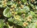 Starr-030523-0120-Alternanthera pungens-seeds-State nursery Kahului-Maui (24552579801).jpg