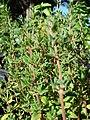 Starr-080812-9699-Thymus vulgaris-leaves-Makawao-Maui (24557417219).jpg