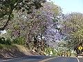 Starr-090513-7510-Jacaranda mimosifolia-flowering habit-King Kekaulike School Pukalani-Maui (24587018749).jpg