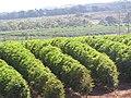 Starr-090714-2671-Coffea arabica-crop-Kaanapali-Maui (24338949584).jpg