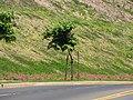 Starr-090721-3240-Antigonon leptopus-landscaping-Wailuku-Maui (24339858244).jpg