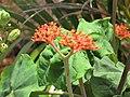 Starr-090806-3865-Jatropha podagrica-flowers and leaves-Wailuku-Maui (24675928860).jpg