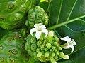 Starr-091104-0772-Morinda citrifolia-flowers and fruit-Kahanu Gardens NTBG Kaeleku Hana-Maui (24869582942).jpg