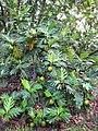 Starr-091104-8778-Artocarpus altilis-fruit and leaves-Kahanu Gardens NTBG Kaeleku Hana-Maui (24894744461).jpg
